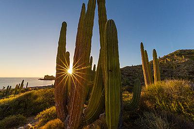 Cardon cactus  at sunset on Isla Santa Catalina, Baja California Sur, Mexico, North America - p871m1180866 by Michael Nolan