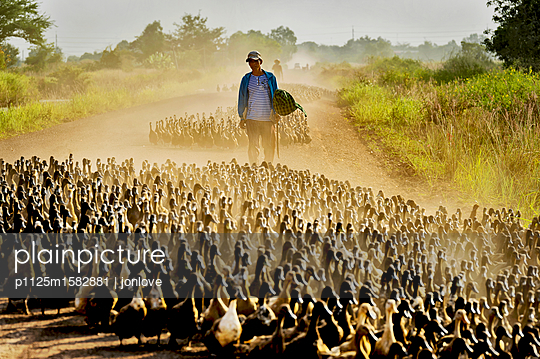 Herding ducks on gravel road - p1125m1582881 by jonlove