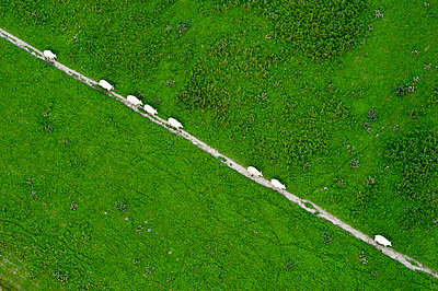 Sheep on a trail - p1079m890342 by Ulrich Mertens