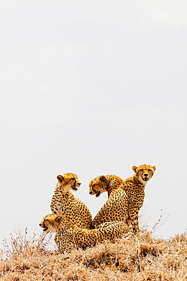 East Africa, Tanzania, safari in Ngorongoro Crater Conservation Area, Unesco World Heritage site, a group of cheetah (Acinonyx jubatus) sitting on top of a lookout - p652m1576257 by Christian Kober