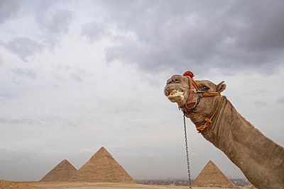 The Pyramids of Giza, UNESCO World Heritage Site, with camel, Cairo, Egypt, North Africa, Africa - p871m2209536 by Spencer Clark