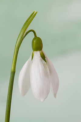 Study of a snowdrop - p1470m1539177 by julie davenport