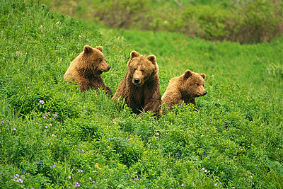 Grizzly Bear mother and two cubs - p8842182 by Thomas Mangelsen