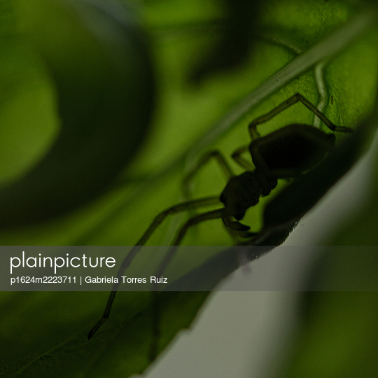 Spider on green leaf, close-up - p1624m2223711 by Gabriela Torres Ruiz