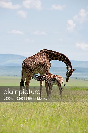 Masai Giraffe mit säugendem Jungtier - p533m1152654 von Böhm Monika