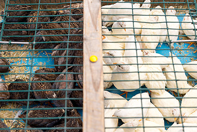 Cadged birds being sold at street market - p1201m1008158 by Paul Abbitt