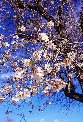 Almond tree and blossoms - p8850154 by Oliver Brenneisen