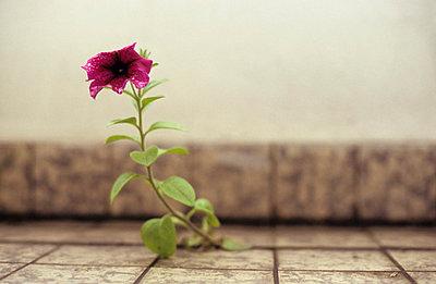 Einsame Blume - p0970392 von K. Krebs