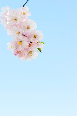 Cherry blossom - p177m959722 by Kirsten Nijhof