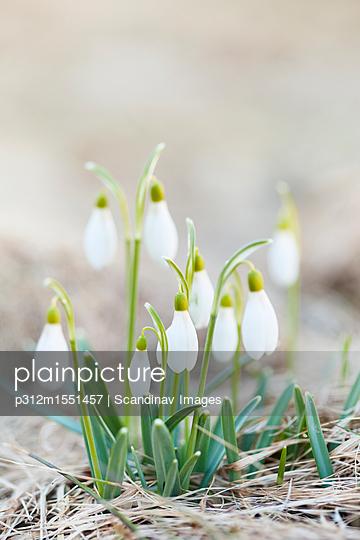 plainpicture | Photo library for authentic images - plainpicture p312m1551457 - Snowdrop flowers growing on... - plainpicture/Johner/Scandinav Images