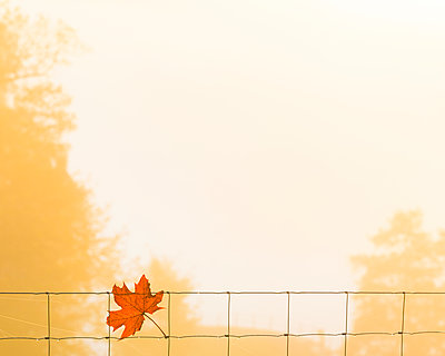 Autumn leaf on chain-link fence - p312m1533561 by Mikael Svensson