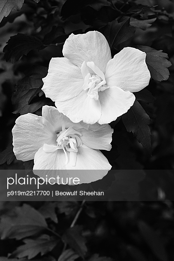 White flower and leaves - p919m2217700 by Beowulf Sheehan
