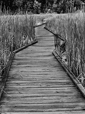 Promenade cutting through bulrushes - p1072m830495 by Clive Branson