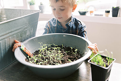 Little boy growing little cherry tomatoes for the season. - p1166m2174293 by Cavan Images