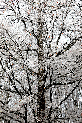 Germany, tree in winter - p300m1535857 by Thomas Jäger