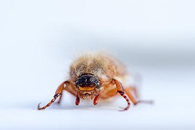 June Beetle - p300m2012532 by Frank Röder