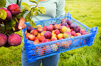 Woman picking plums, Vale of Evesham, Worcestershire, UK - p343m2032701 by Ashley Cooper