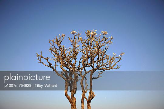 Plumeria - p1007m754829 by Tilby Vattard