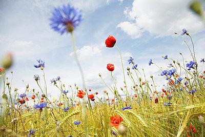 Wild flowers in a cornfield - p4640489 by Elektrons 08