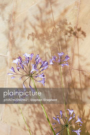 Agapanthus flowers - p1057m2292962 by Stephen Shepherd