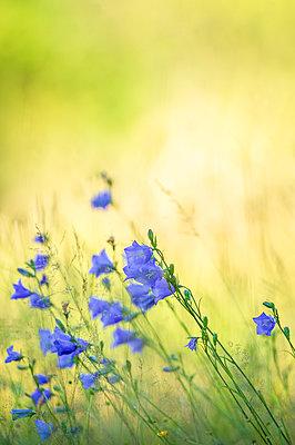 Bluebells on meadow - p1418m2288279 by Jan Håkan Dahlström