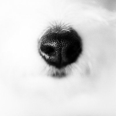 White dog - p2685414 by Peter Nitsch