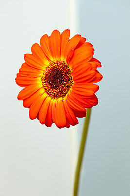 Red, orange, and yellow gerbera daisy flower with green stem photographed against white and blue wall  - p919m2206450 by Beowulf Sheehan
