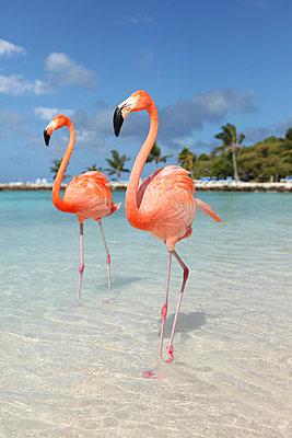 Flamingos at Aruba - p045m912528 by Jasmin Sander