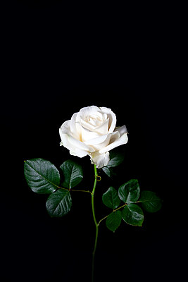 White rose against black background  - p1248m2278937 by miguel sobreira