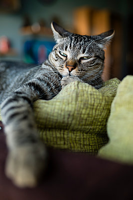 Portrait of tabby cat snoozing on backrest of couch - p300m1081560f by Ramon Espelt