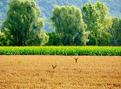 Roe deer and fawn in a field - p300m1505465 by Martin Siepmann