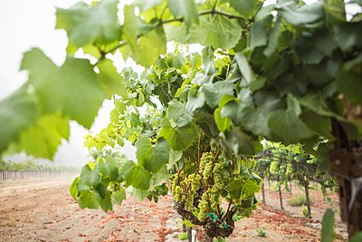 Bunches of grapes on grapevine in vineyard, Sebastapol, California, USA - p429m1095507f by Nancy Honey