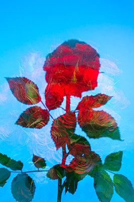 Red roses with leaves against blue background - p919m2217705 by Beowulf Sheehan