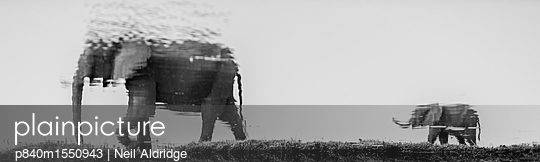 African elephant  baby and its mother are reflected in the waters of the Chobe River, Chobe National Park, Botswana. Vulnerable.  - p840m1550943 by Neil Aldridge