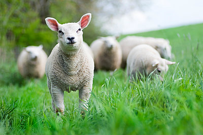 A group of lambs in a meadow in spring - p1144m967496 by Misja Smits