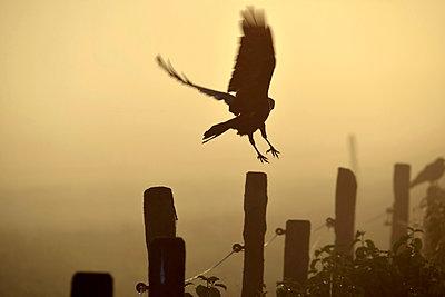Germany, Upper Bavaria, Raven landing on fence in morning fog - p300m1189252 by Gerald Nowak