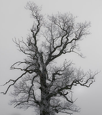 Naked tree - p816m1032222 by Bergersen Ove