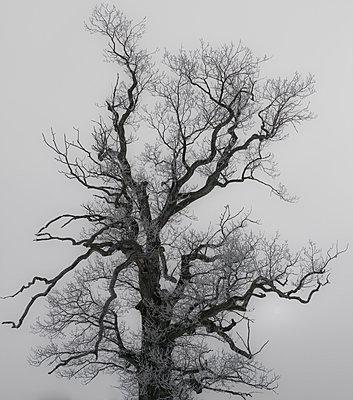 Kahler Baum - p816m1032222 von Bergersen, Ove