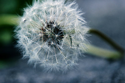 Dandelion clock close-up - p879m1477236 by nico