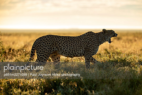 Cheetah, Serengeti National Park, Tanzania, Africa, - p651m2271099 by Paul Joynson Hicks photography