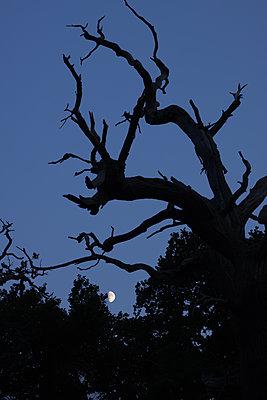 Kahle Eiche im Mondlicht - p1016m2289468 von Jochen Knobloch