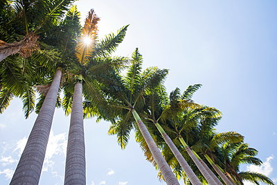 Low angle view of sunlit palm trees and blue sky, Reunion Island - p429m1224066 by RUSS ROHDE