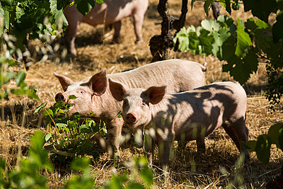 Pigs in the vineyard - p628m1476211 by Franco Cozzo