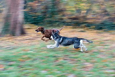 Zwei spielende Hunde im Herbst - p739m1191052 von Baertels