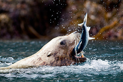 Sea Lion catches fish - p92412022f by Image Source