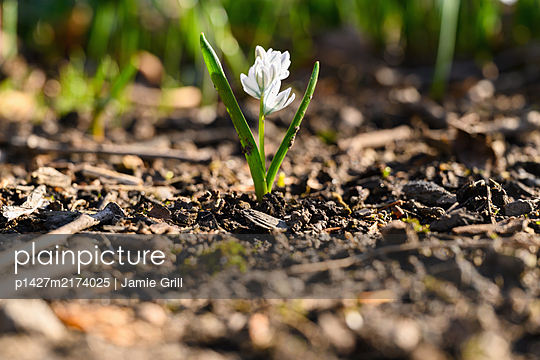 Small spring flower bud growing from dirt - p1427m2174025 by Jamie Grill