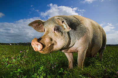 Pig - p1057m1028464 by Stephen Shepherd
