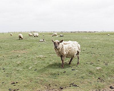 Geschorenes Schaf an der Nordseeküste, Langeneß - p1085m987290 von David Carreno Hansen