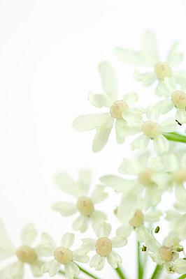 Schafgarbenblüten - p4010406 von Frank Baquet