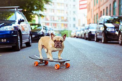 Französische Bulldogge auf Skateboard - p432m1138003 von mia takahara